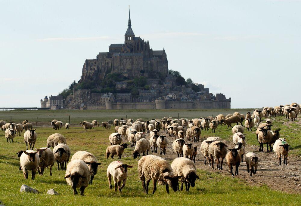 Ovelhas pastam próximo da ilha Monte Saint-Michel, no departamento da Mancha, na França, durante a quarentena