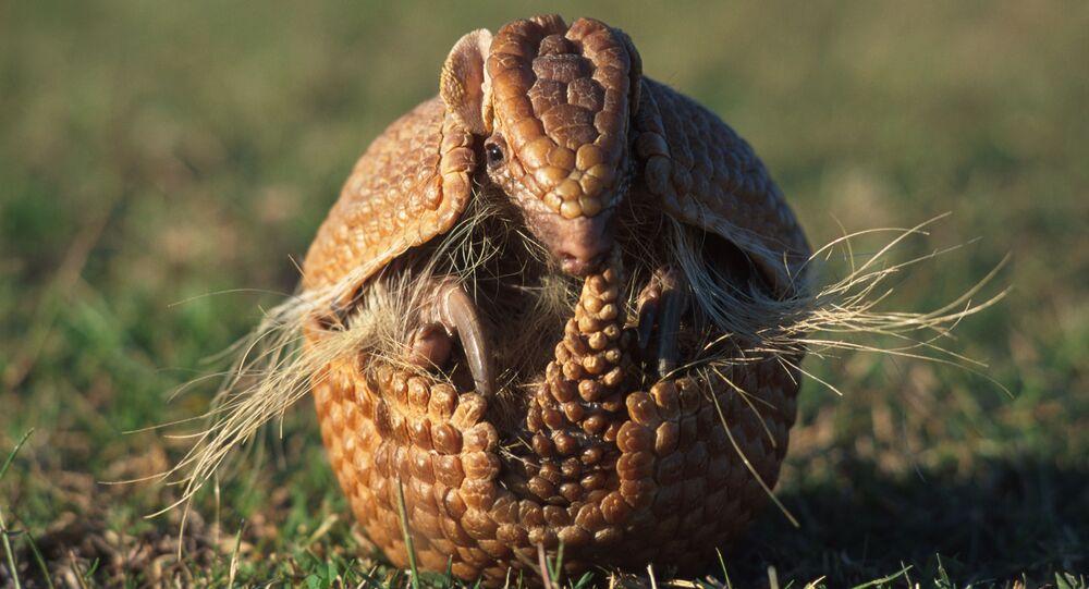 Tatu-bola, espécie que vive nas regiões Norte e Nordeste do Brasil e corre risco de extinção