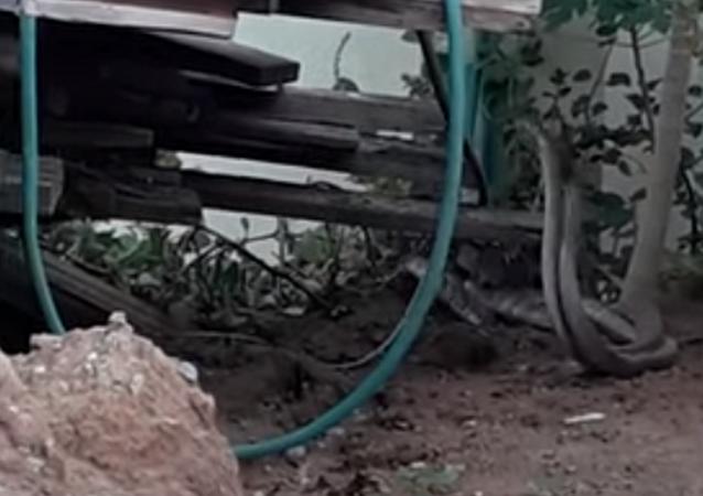 Cobras no quintal