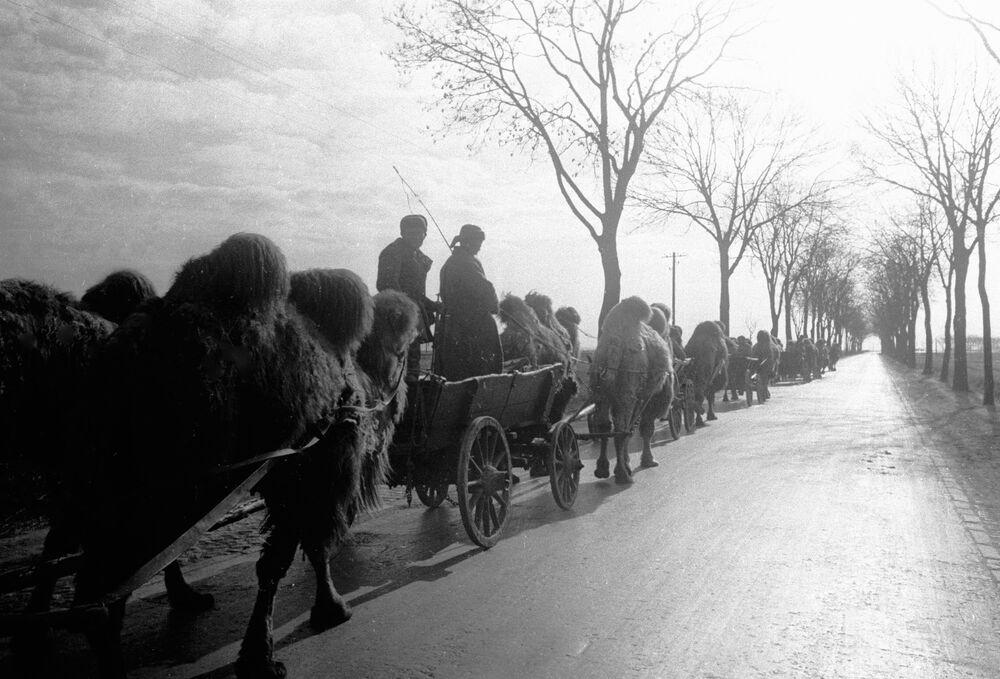 Coluna de camelos puxando carroças segue pela periferia de Berlim após longo caminho desde Stalingrado