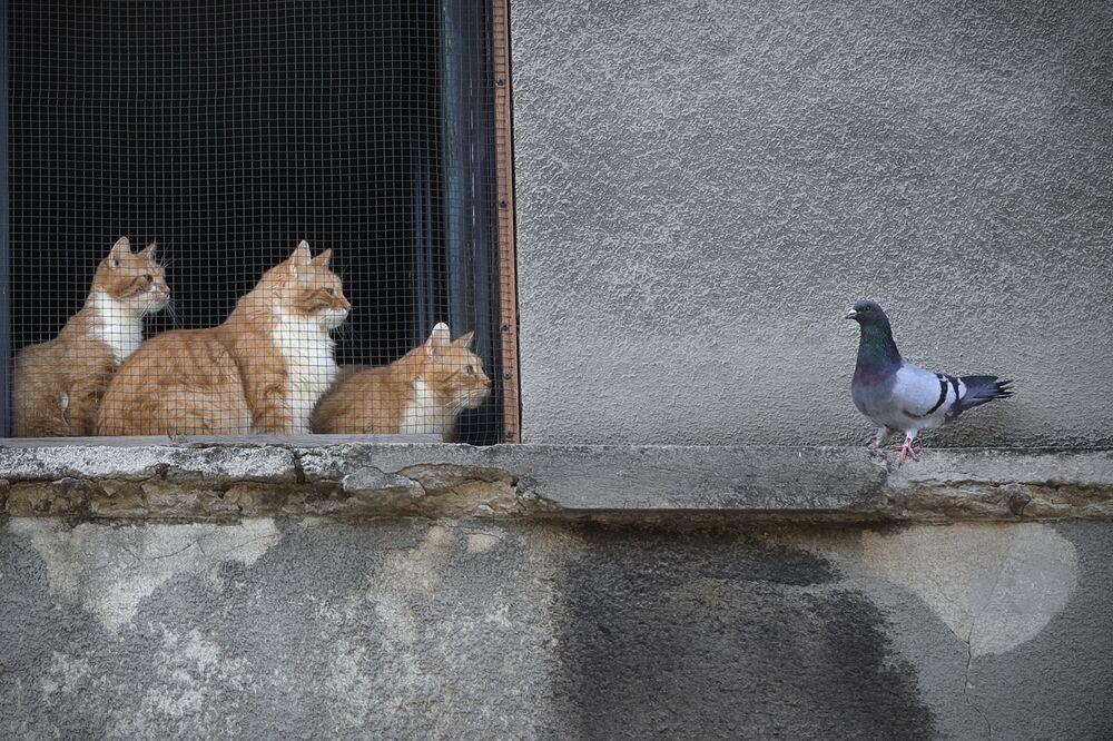 Gatos observam pombo