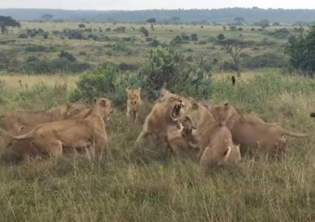 Leão é atacado por leoas