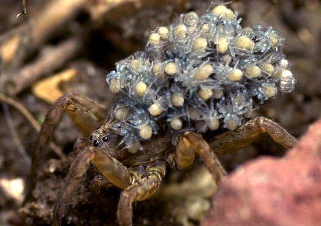 Mãe aranha-lobo carrega seus bebês com ela nas costas, em Parma, estado de Ohio, EUA, 21 de junho de 2004