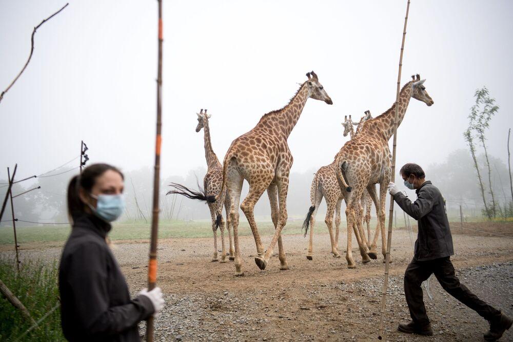 Funcionários do zoológico Planete Sauvage em Saint-Père-en-Retz, na França, trabalham de máscaras ao lado de girafas durante o 51° dia de quarentena total no país