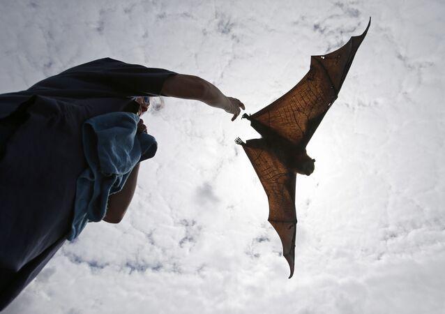 Raposa-voadora é solta no Parque Central de Sydney, na Austrália