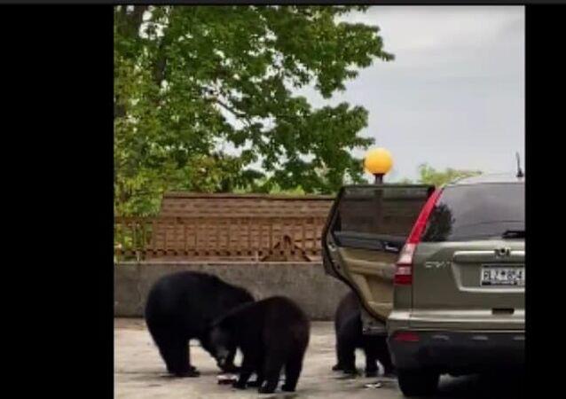 Família de ursos 'arromba' carro e come lanche alheio nos EUA
