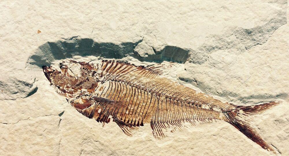 Fóssil petrificado de peixe