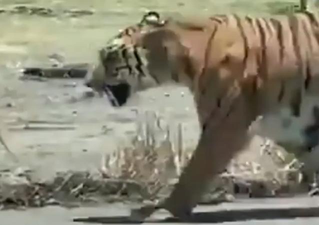 Tigre fujão