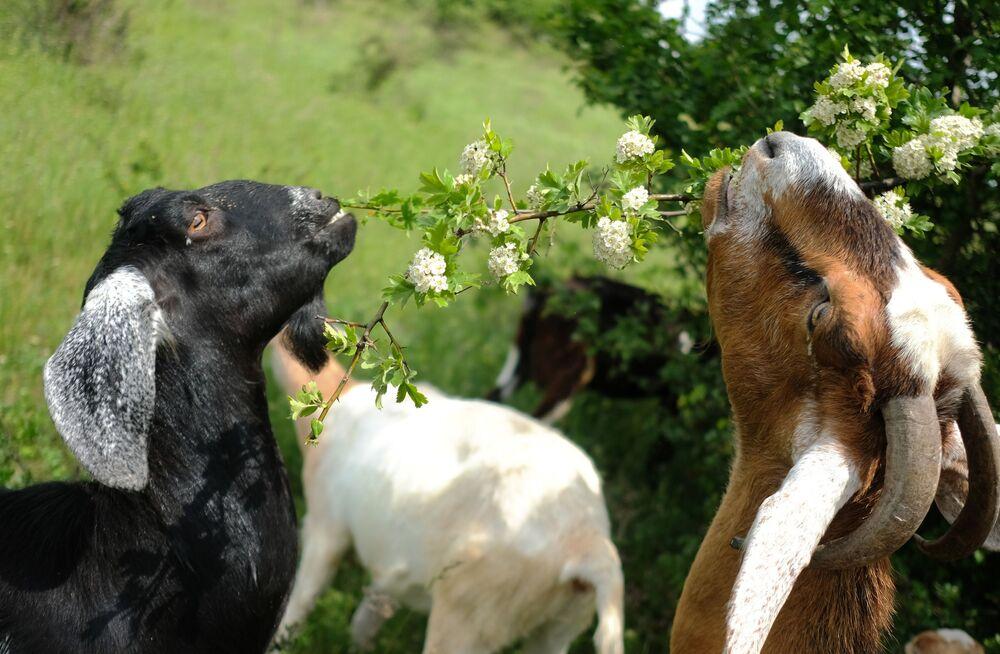 Cabras se alimentando na região russa de Krasnodar
