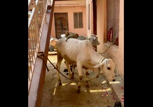 Macacos desocupados torram a paciencia de vacas em templo na Índia