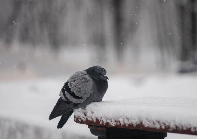 Um pombo (foto de arquivo)