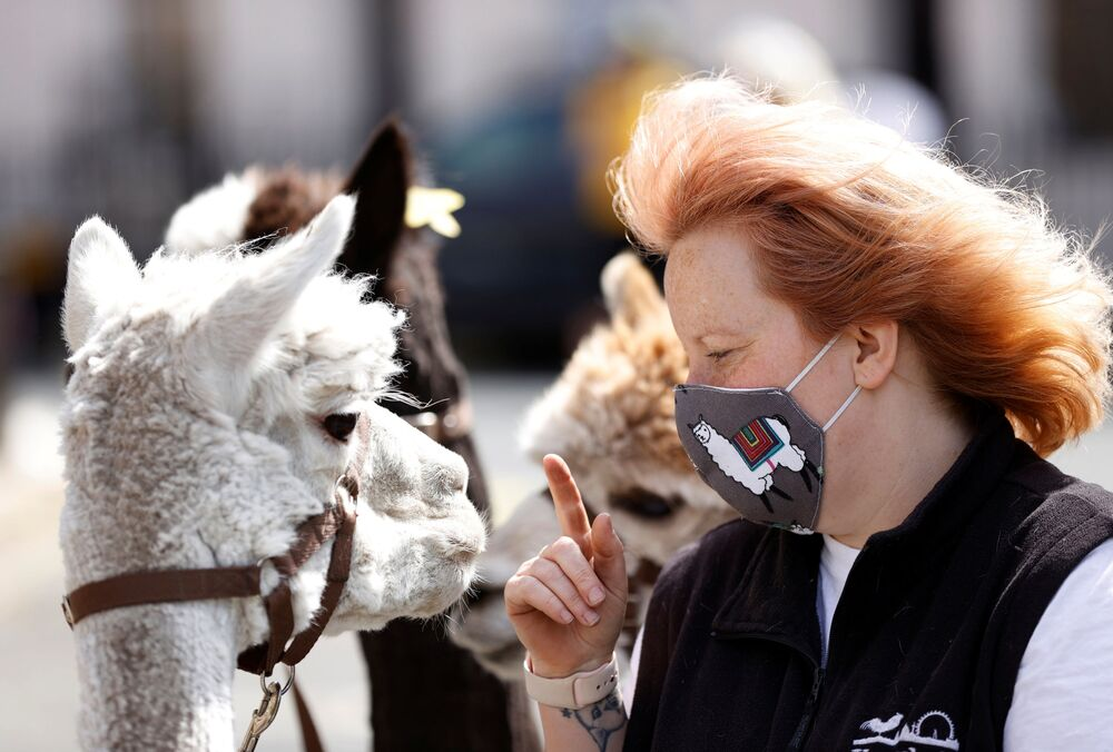 Mulher com máscara e alpacas em Londres, Reino Unido