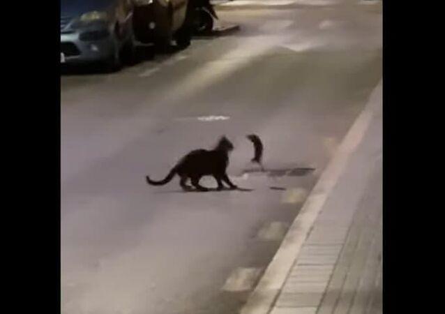 Gato duela com rato 'ninja' na Espanha