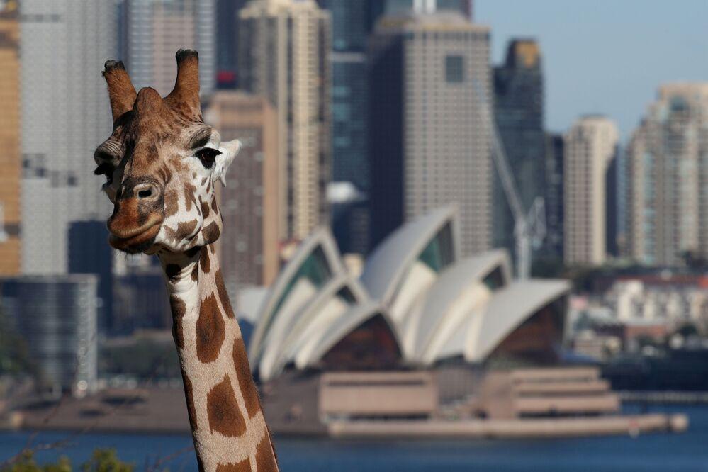 Ópera de Sydney, também conhecida como Teatro de Sydney, aparece ao fundo de girafa no zoológico