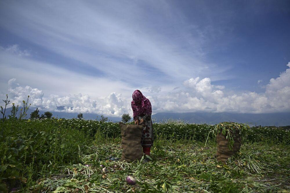 Fazendeiro embala nabos em campo nos arredores de Srinagar, em 1º de junho de 2020