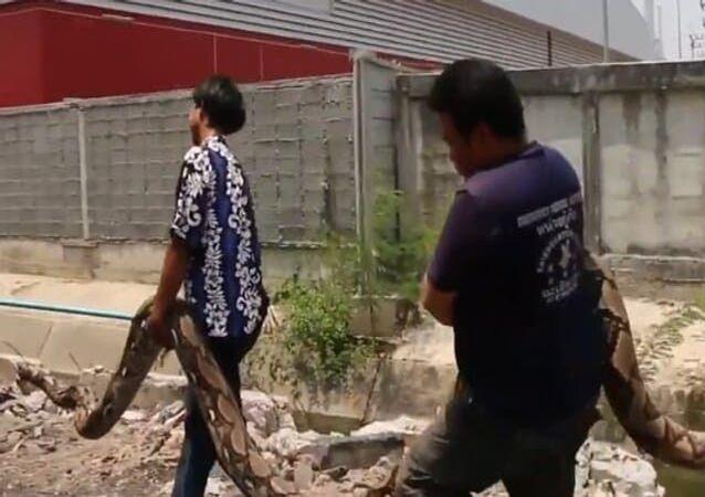 Píton colossal de 6 metros é retirada de terreno baldio na Tailândia