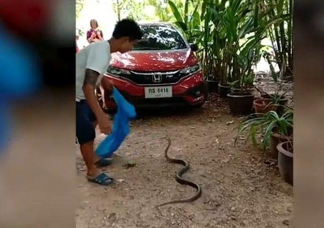 Cobra-rei aterroriza vilarejo na Tailândia