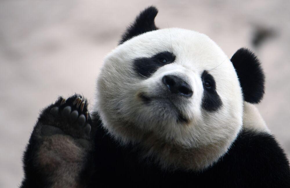 Panda gigante parece acenar com sua pata para foto antes da reabertura do Zoológico de Moscou após a quarentena