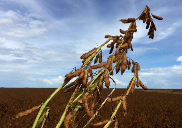Plantação de soja em fazenda na Bahia.
