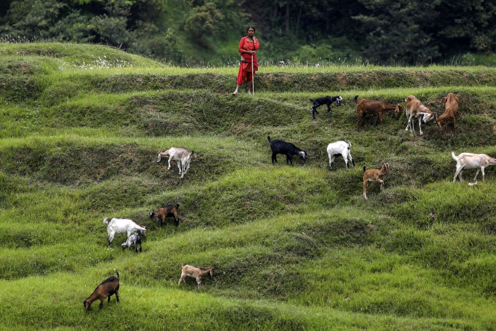 Mulher pastoreia cabras em campo de Bhaktapu, no Nepal