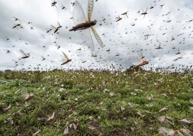 Nuvem de gafanhotos do deserto voam por colheitas no Quênia, 24 de janeiro de 2020 (imagem referencial)