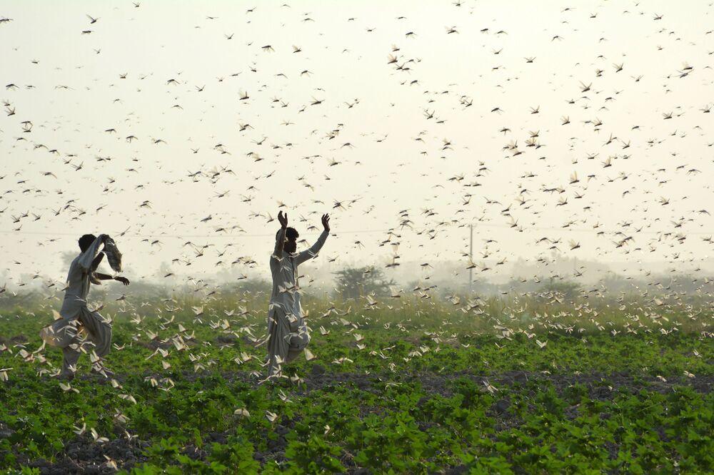 Agricultores durante uma praga de gafanhotos no Paquistão