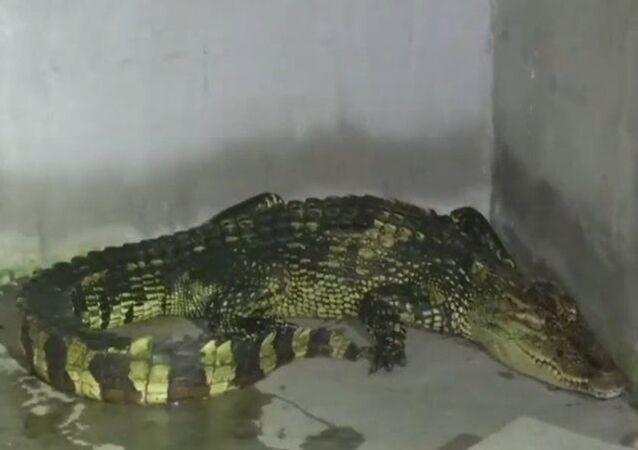 Homem se surpreende com crocodilo em sua casa