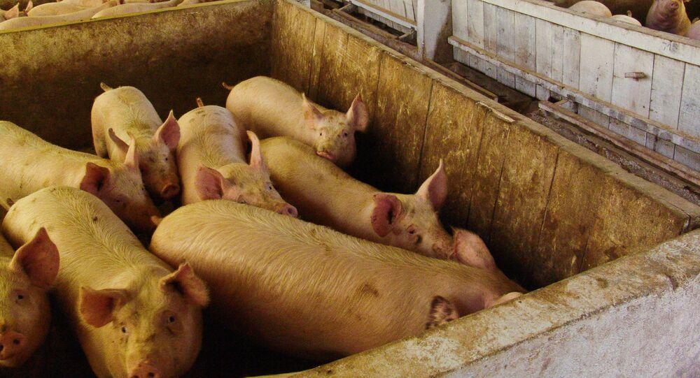 Granja de porcos em Concórdia, Santa Catarina