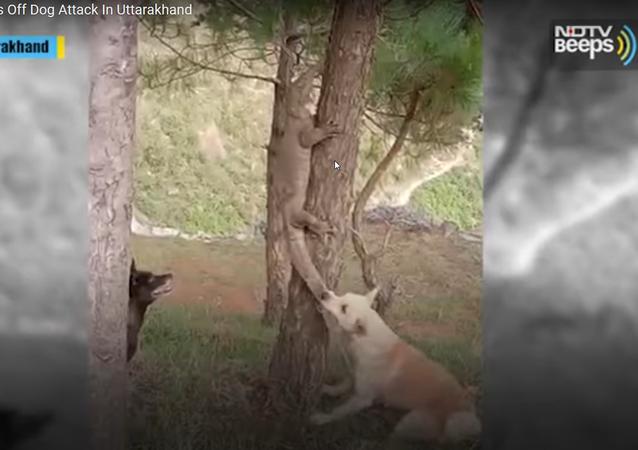 Dois cachorros travam batalha com enorme lagarto-monitor na Índia