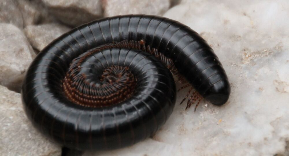 Foto de centopéia, ou Scolopendridae (imagem referencial)