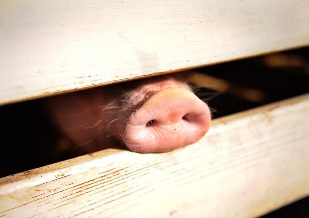 Um porco presencia uma feira agrícola nos EUA, em 2009. Foto de arquivo