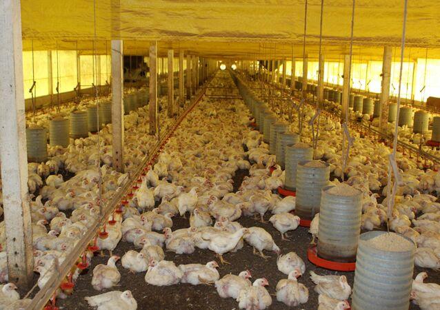 Autoridades locais disseram que aves serão abatidas para evitar a propagação da doença, que foi confirmada por testes de laboratório