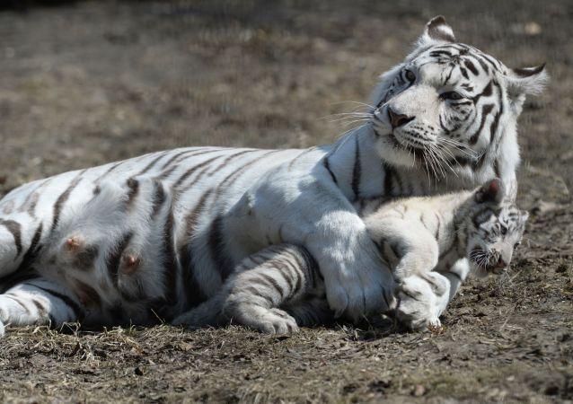 A tigresa branca chamada Zaya e seu bebê que nasceu no jardim zoológico de Novosibirsk no inverno de 2015