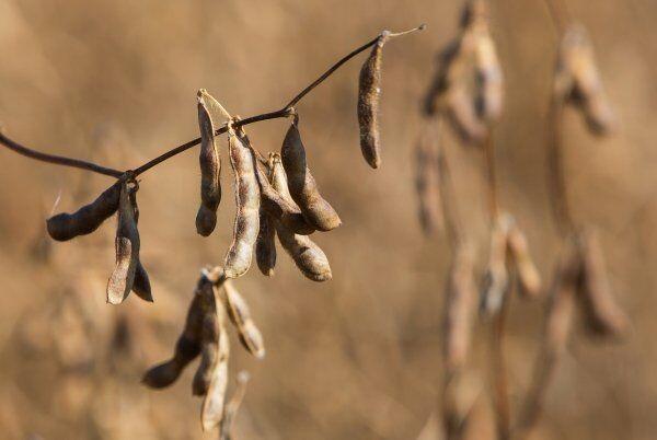 Cientistas brasileiros desenvolvem sementes de soja para o combate à AIDS
