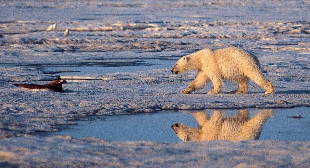 Urso polar no Ártico (imagem de arquivo)