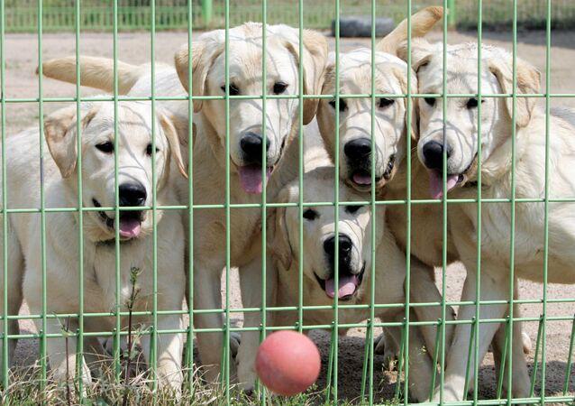 Cães clonados na Coreia do Sul.