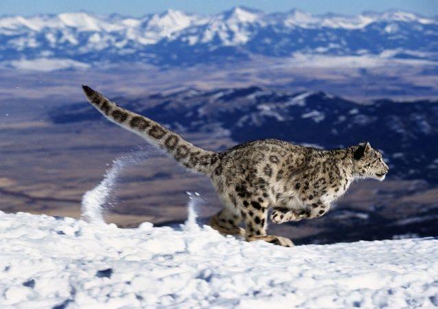 Leopardo-das-neves