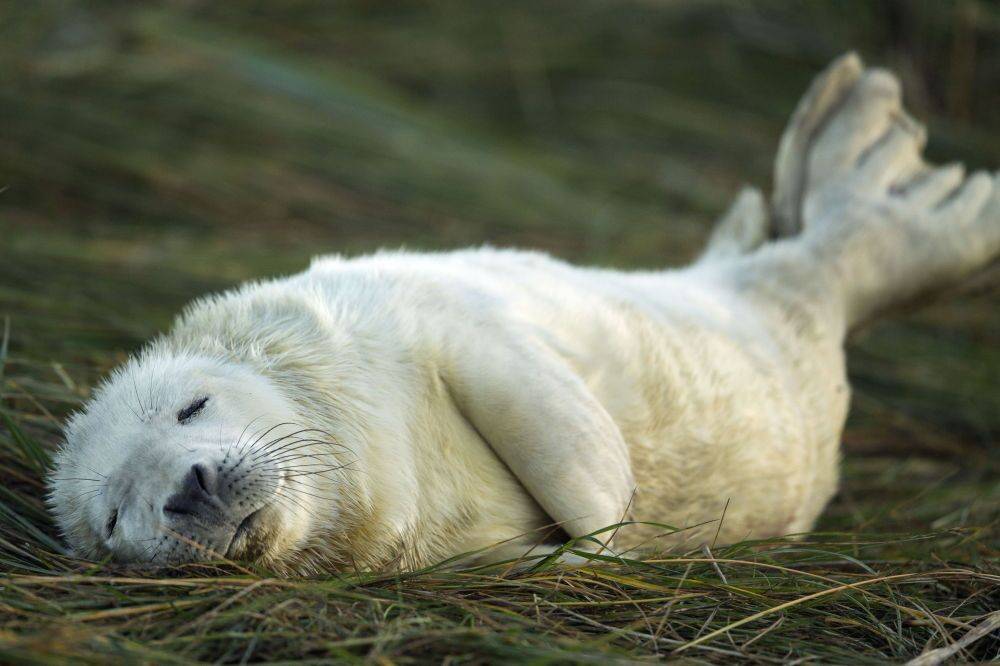 Filhote de  foca cinzenta