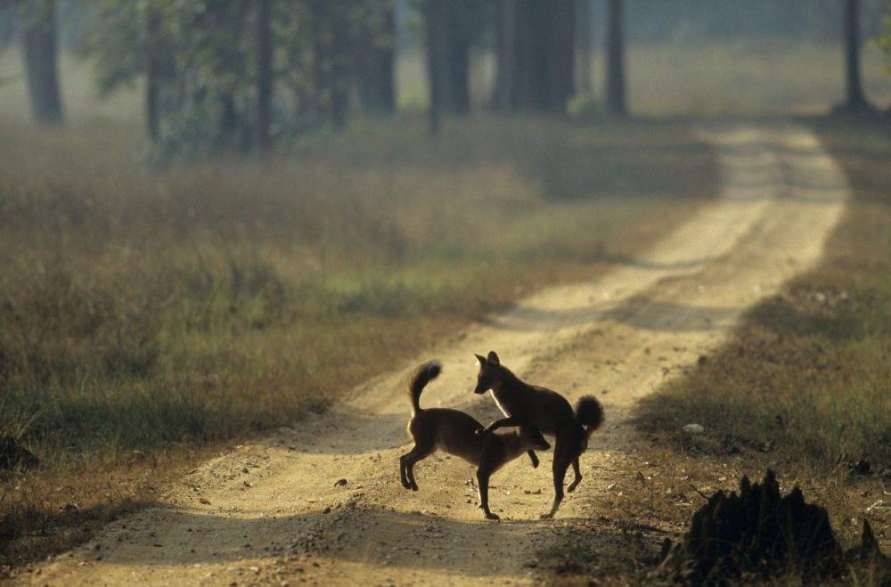 Cão-selvagem-asiático