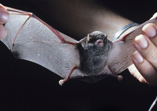 Morcego-de-peluche (foto de arquivo)