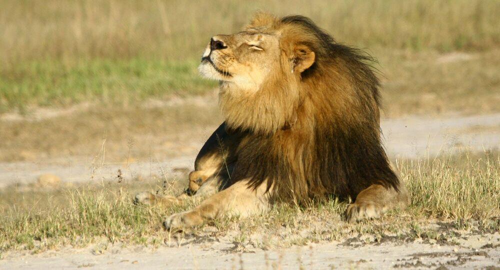Cecil, o leão mais amado do mundo, morto em julho de 2015 por um dentista norte-americano