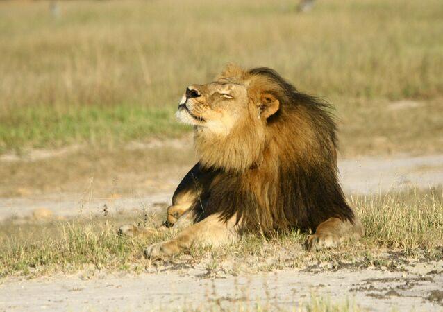 Cecil, o leão mais amado do mundo, morto em julho de 2015 por um dentista norte-americano (imagem referencial)