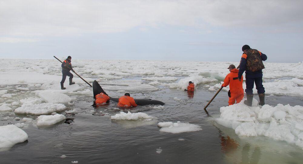Salvamento de orcas no Mar do Okhotsk