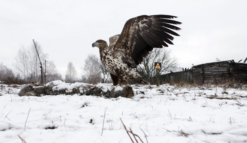 Águia em frente de casa abandonada na aldeia-fantasma Dronki, Bielorrússia