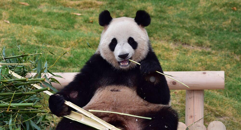 A panda gigante ou urso panda