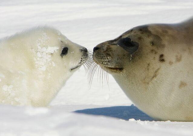 Um filhote de foca com sua mãe na costa das ilhas da Madalena, Quebec