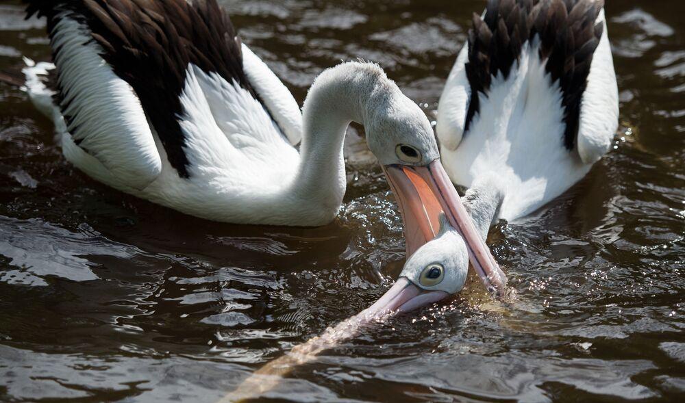 Dois pelicanos numa gaiola no parque de aves em Walsrode, Alemanha