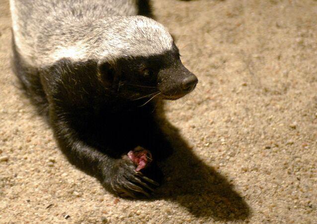 Texugo comendo um rato no jardim zoológico de Praga, em 13 de julho de 2007