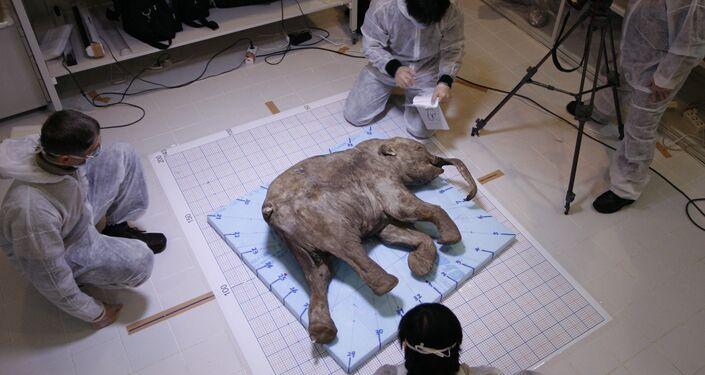 Cientistas examinam pequeno mamute de 37.000 anos de idade encontrado em 2008