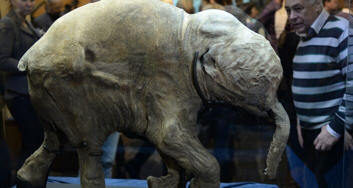 Múmia do pequeno mamute Lyuba no museu de Darwin em Moscou